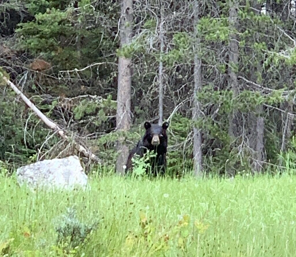 Black-Bear-Grand-Teton-National-Park