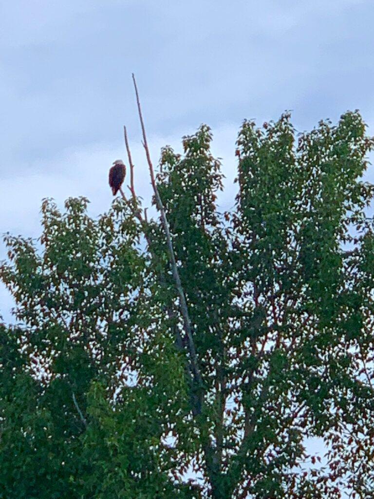 eagle-spotted-on-Snake-River