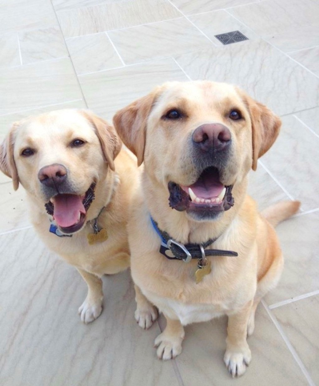 labrador-retrievers